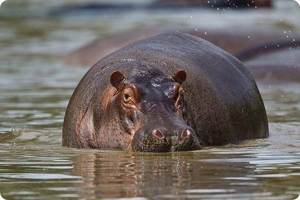Бегемот (лат. Hippopotamus amphibius)