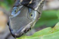 Четырехглазые черепахи