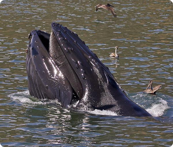 Усатые, или беззубые киты (лат. Mysticeti)