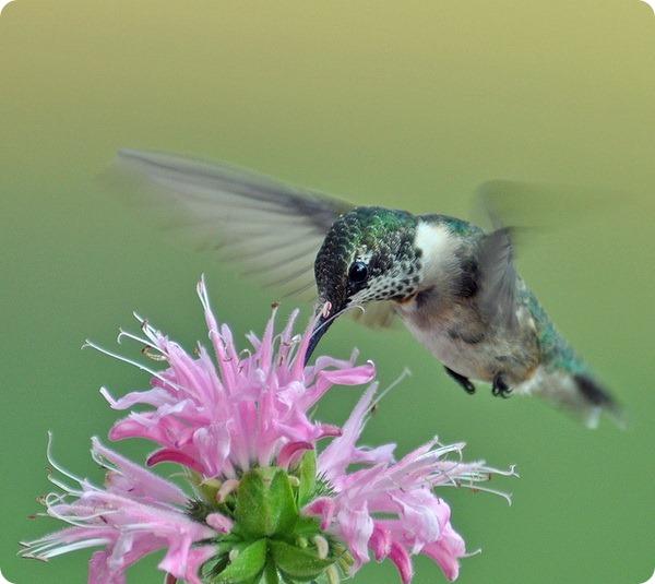 Колибри-пчелка (лат. Mellisuga helenae)