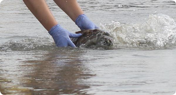 Спасенные морские черепахи были выпущены на волю
