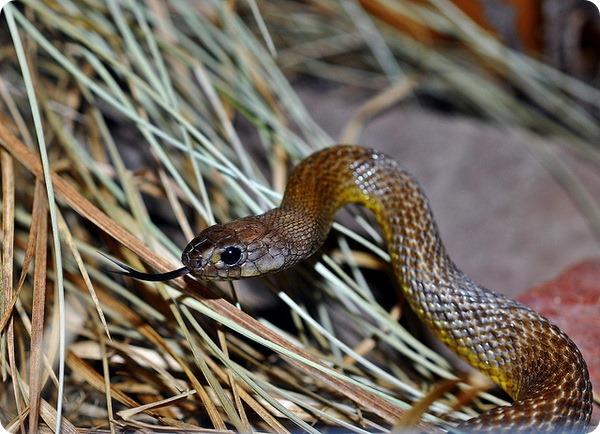 Жестокая змея (лат. Oxyuranus microlepidotus)
