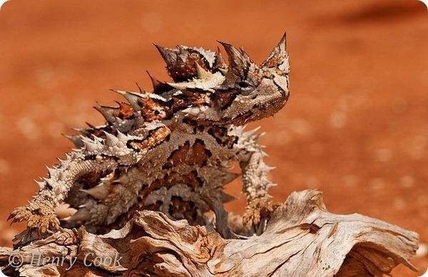 Молох, или колючий дьявол (лат. Moloch horridus)
