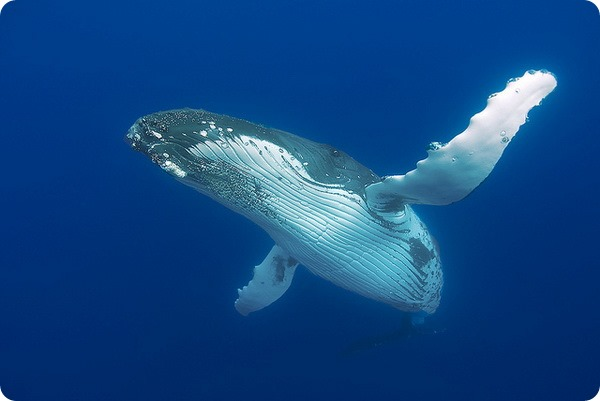 Горбатый кит, или длиннорукий полосатик (лат. Megaptera novaeangliae)