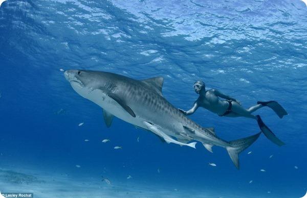 В защиту тигровых акул