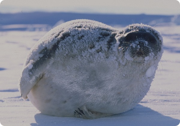 Кольчатая нерпа, акиба или кольчатый тюлень (лат. Phoca hispida)