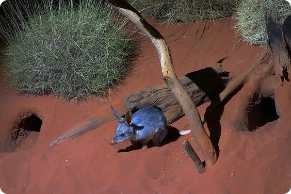 Кроличий бандикут (лат. Macrotis lagotis)