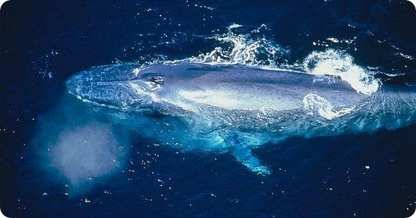 Синий кит (лат. Balaenoptera musculus)