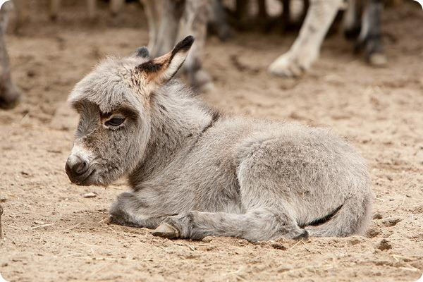 Домашние ослы (лат. Equus asinus)