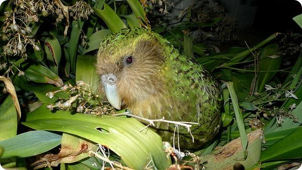 Какапо (лат. Strigops habroptilus)