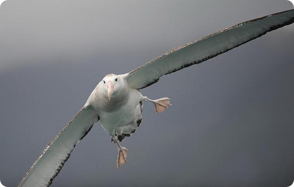 Самый большой размах крыльев у птиц