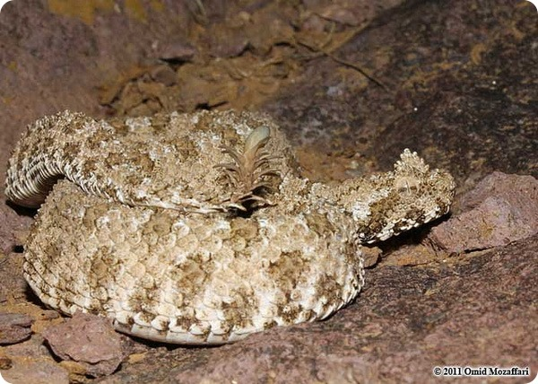 Ложнорогатая гадюка Pseudocerastes urarachnoides