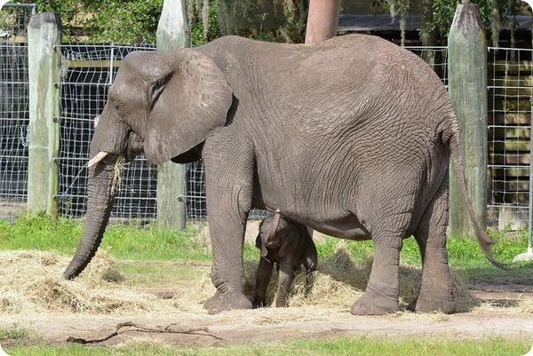 Зоопарк Лоури представил африканского слоненка