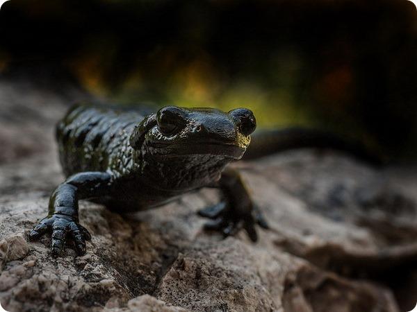 Альпийская, или черная саламандра (лат. Salamandra atra)