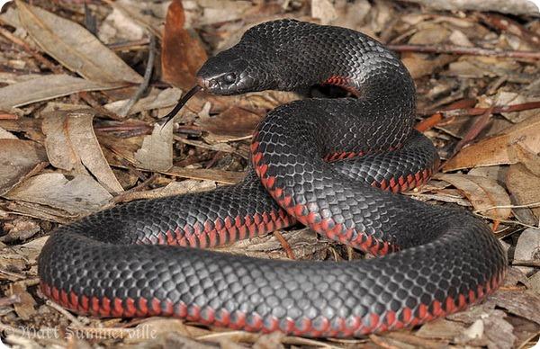 Черная змея (лат. Pseudechis porphyriacus)