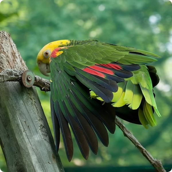 Желтоголовый амазон (лат. Amazona oratrix)