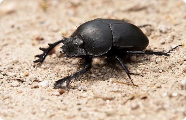 Жук скарабей, или навозный жук (лат. Scarabaeus sacer)