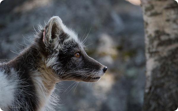 Песцы, или полярные лисицы (лат. Alopex lagopus)