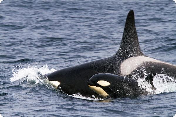 Косатки (лат. Orcinus orca)