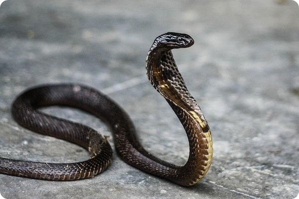 Очковая змея, или индийская кобра (лат. Naja naja)