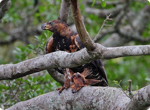 Венценосный орёл (лат. Stephanoaetus coronatus)
