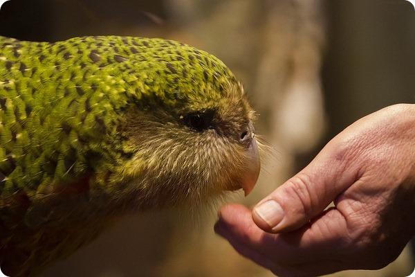 Какапо, или совиный попугай (лат. Strigops habroptilus)