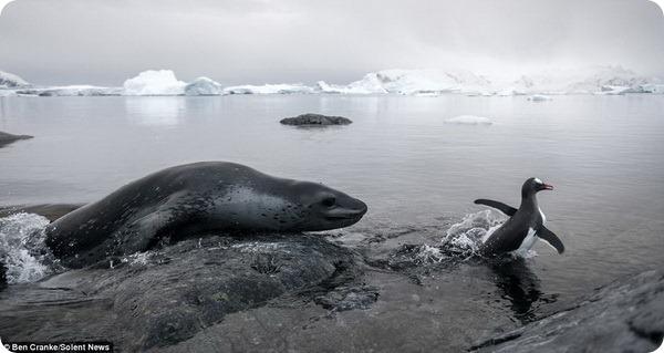 Пингвину удалось уйти от зубов морского леопарда