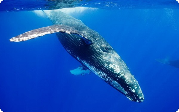 Синий, или голубой кит (лат. Balaenoptera musculus)