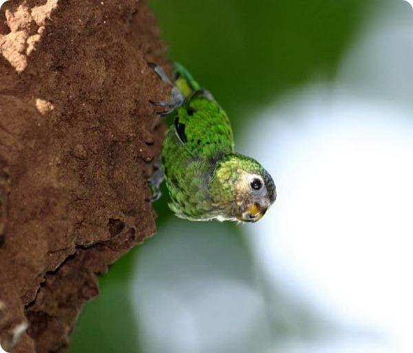 Дятловый попугайчик Шлегеля (лат. Micropsitta geelvinkiana)
