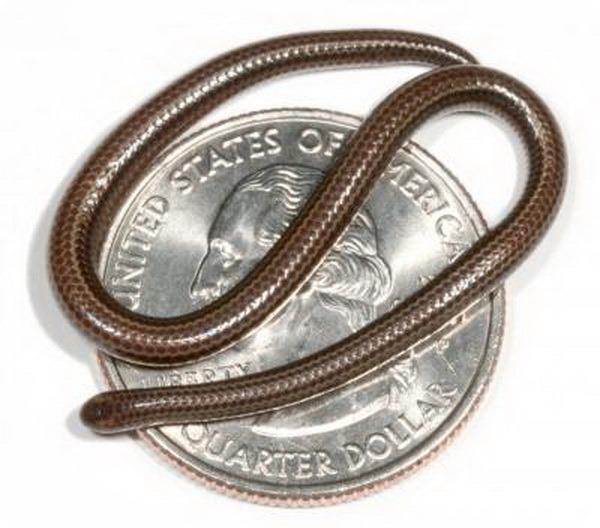Змея Tetracheilostoma carlae