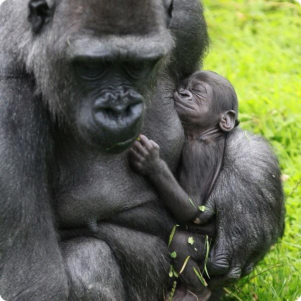 В зоопарку Белфаста народилося дитинча горили - все про тварин