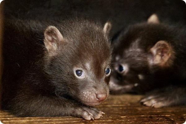 Детенышей кустарниковой собаки из зоопарка Праги