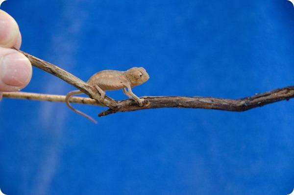 Леопардовые хамелеоны из Аквариума Южная Каролина