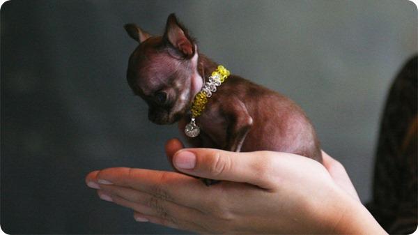 Волшебная Милли - самая маленькая собака в мире