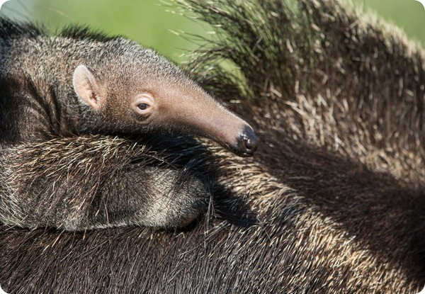 Зоопарк Нэшвилла представил детеныша гигантского  муравьеда