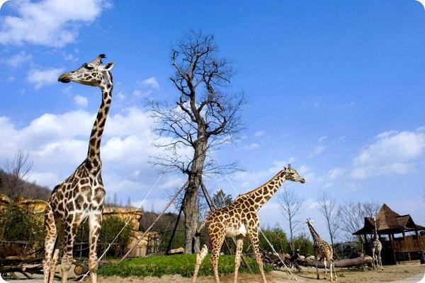 Самка жирафа из Everland Zoo устанавливает мировой рекорд