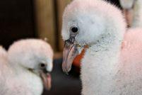 В сафари-парке Лонглит выхаживают птенцов фламинго