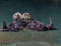 Морские выдры из зоопарка Point Defiance Zoo