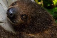 Двупалый ленивец из зоопарка Сан-Диего