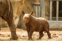 Дебют детеныша черного носорога