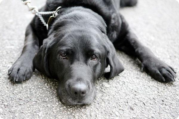 Собака-поводырь спасла жизнь ребенку