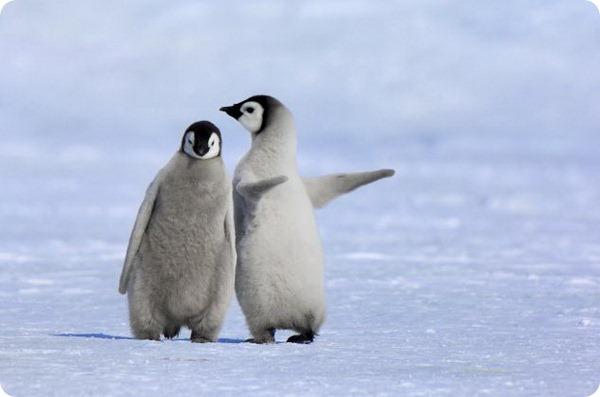 Птенцы императорских пингвинов от Яна Веремеера