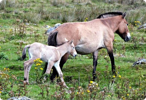 Жеребенок лошади Пржевальского из Шотландии