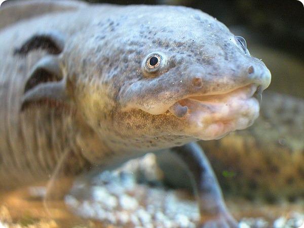 Рыба-капля стала самым уродливым животным в мире