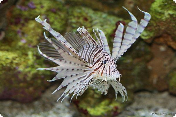 Крылатка-зебра (лат. Pterois volitans)