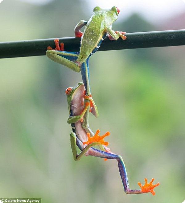 Взаимовыручка у древесных лягушек
