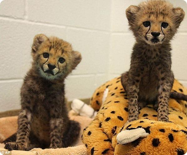 Маленький компаньон для детенышей гепарда
