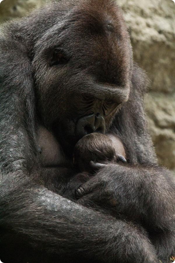 Зоопарк Буффало приветствует детеныша гориллы