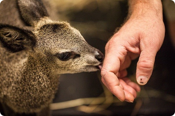 Антилопа-прыгун из зоопарка Линкольн