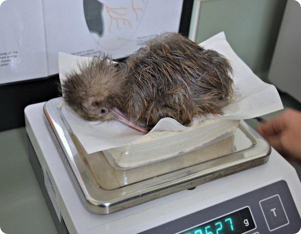 Зоопарка Окленда представил нового птенца киви
